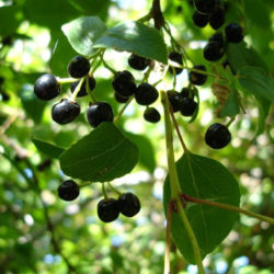 Maqui-Berries