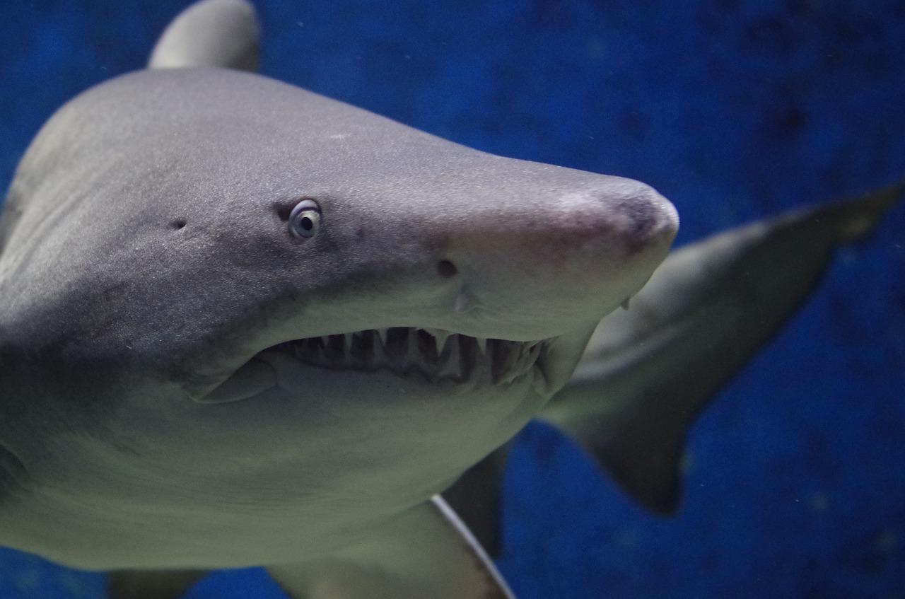 shark-674867_1280
